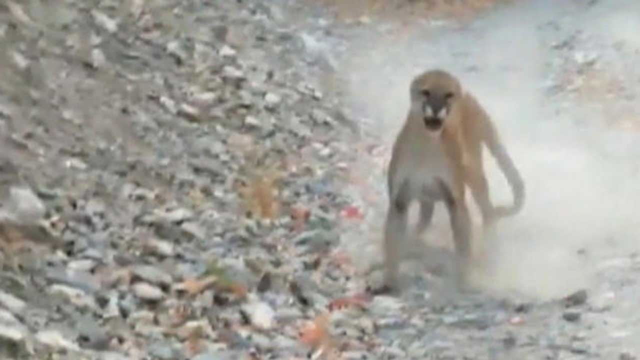 Cougar Follows, Lunges At Utah Hiker In Terrifying 6-Minute Video