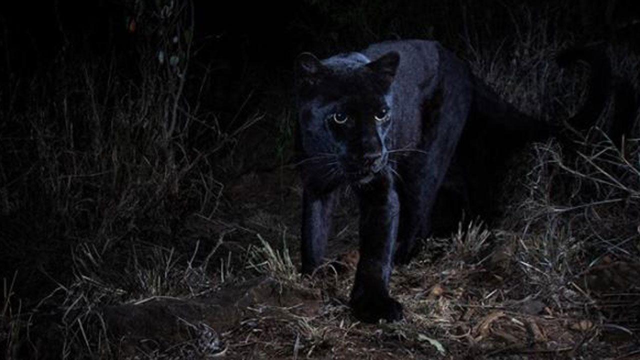 Black Leopard Mauls Florida Man Who Paid $150 To Have 'Full Contact Experience'